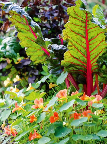 Beta vulgaris - Plantas comestibles