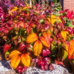 Nandina domestica - El jardín de Diana