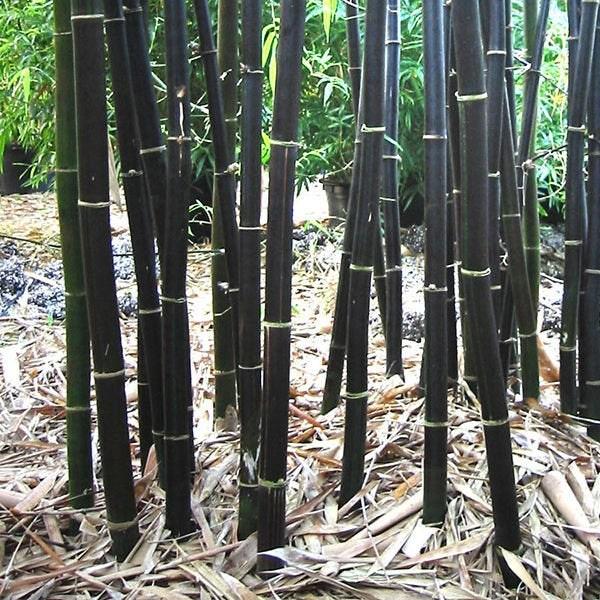 Phyllostachys nigra, bambú negro