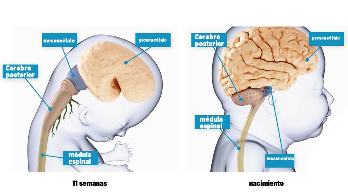 Cerebro humano de 11 semanas a nacimiento