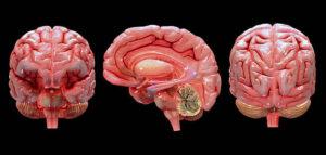Cerebro humano 3 dimensiones