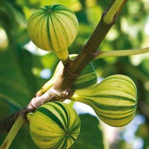 Ficus carica 'Panaché'(Regala un árbol)